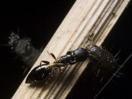 Bethylidae 9932