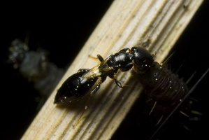 Bethylidae 9933
