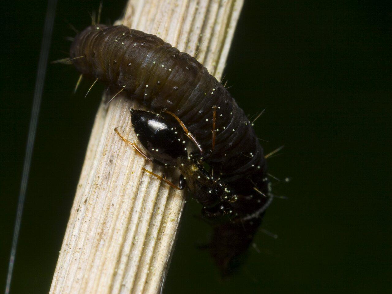 Bethylidae-9935.jpg