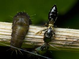 Bethylidae 9940