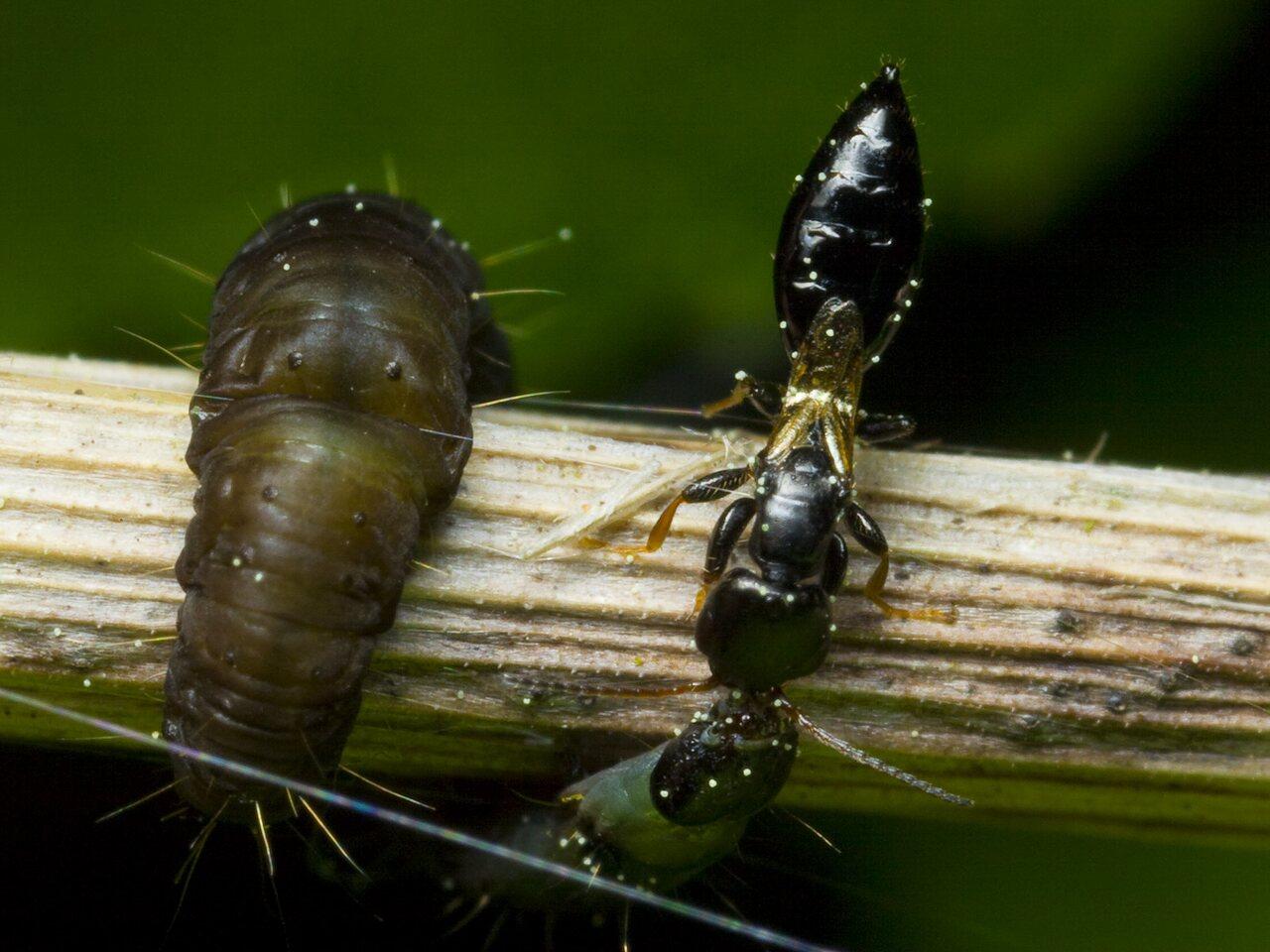 Bethylidae-9940.jpg
