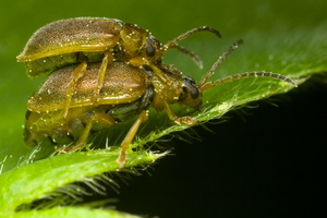 Galerucella tenella mating · žemuoginis aksominukas poruojasi