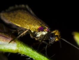 Micropterix calthella · purieninė kandis