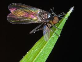 Diptera 9981