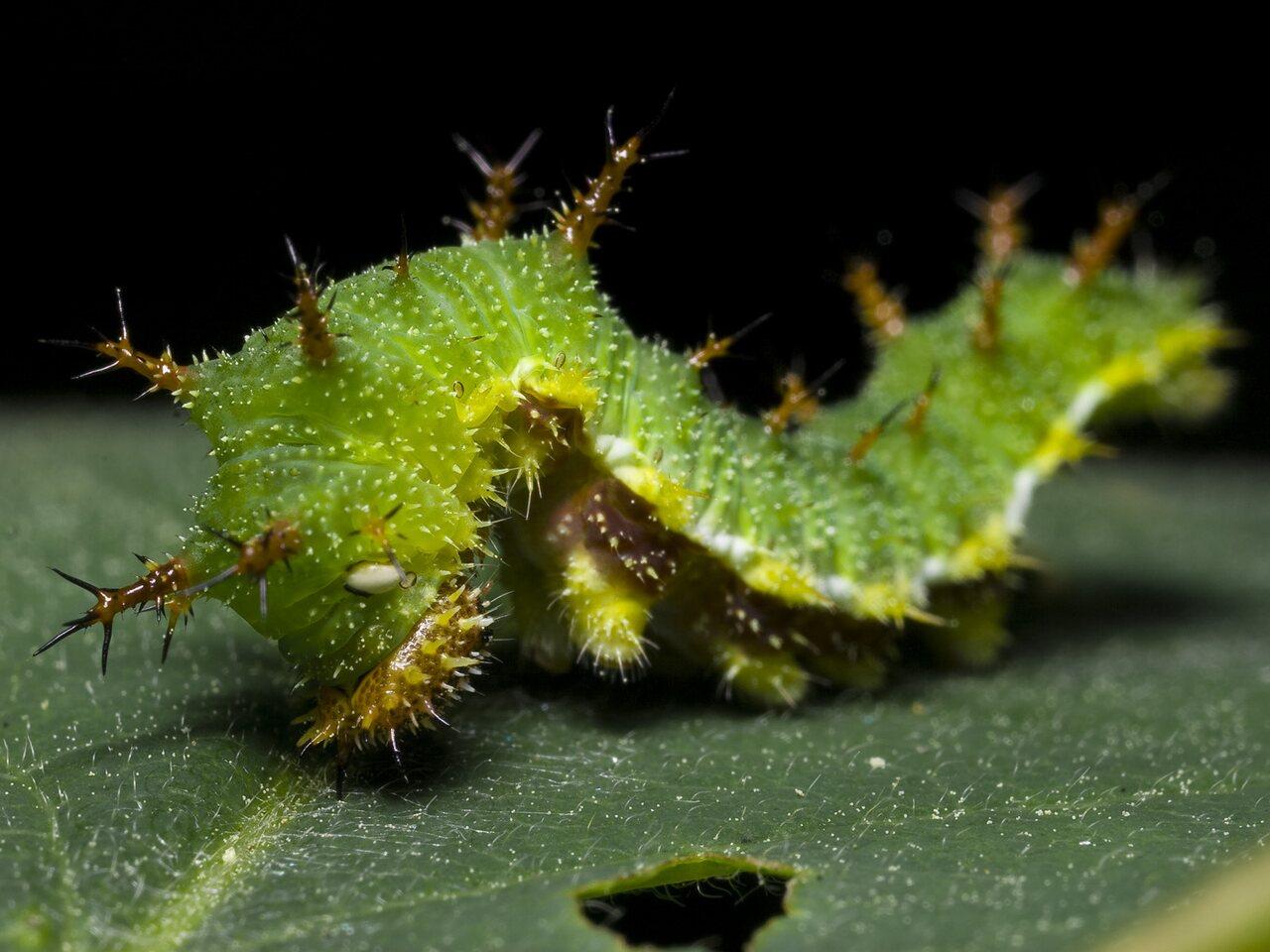 Limenitis-camilla-0010.jpg