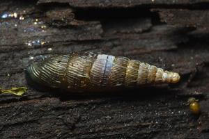 Clausiliidae · skląsteniniai