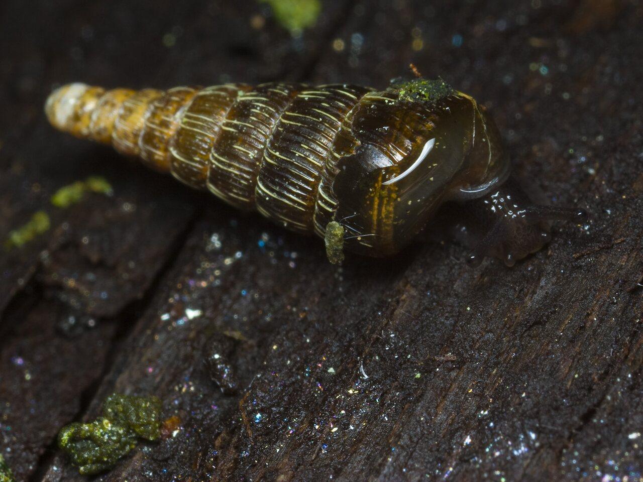 0034-Clausiliidae.jpg