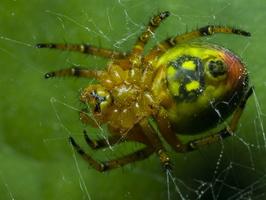 Araniella alpica, female · voriukas ♀