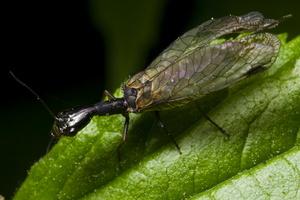 Raphidiidae female · kupriukas ♀