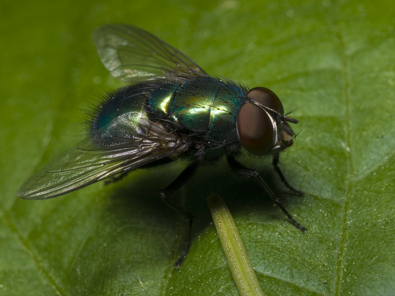 Diptera-0055.jpg