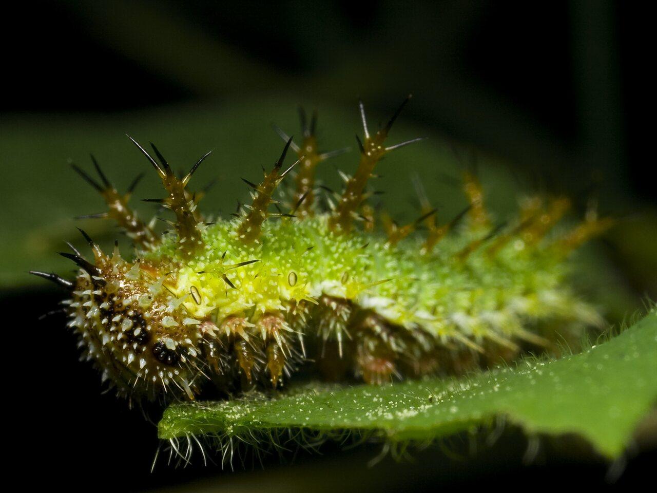 Limenitis-camilla-0069.jpg