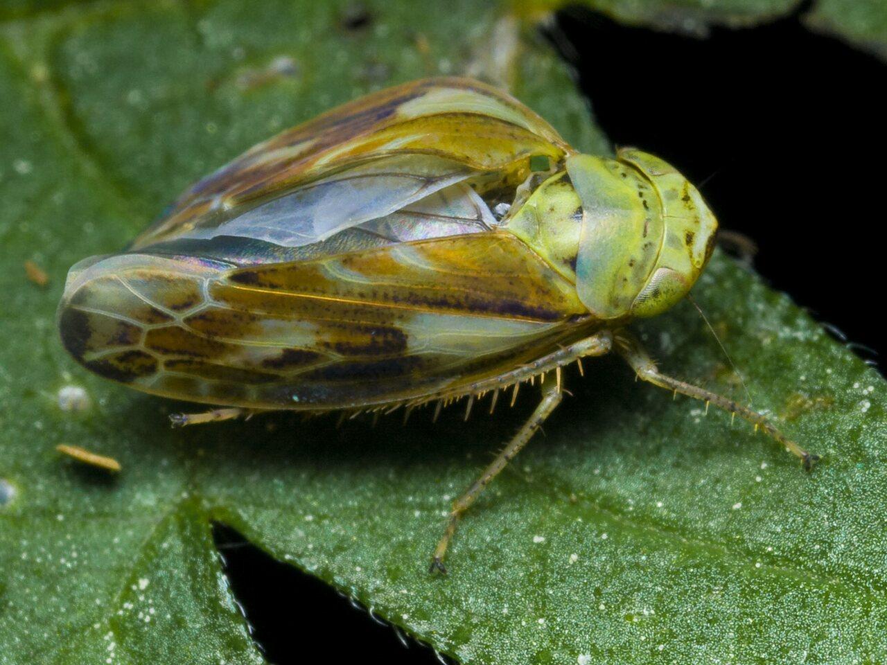 Cicadellidae-0101.jpg