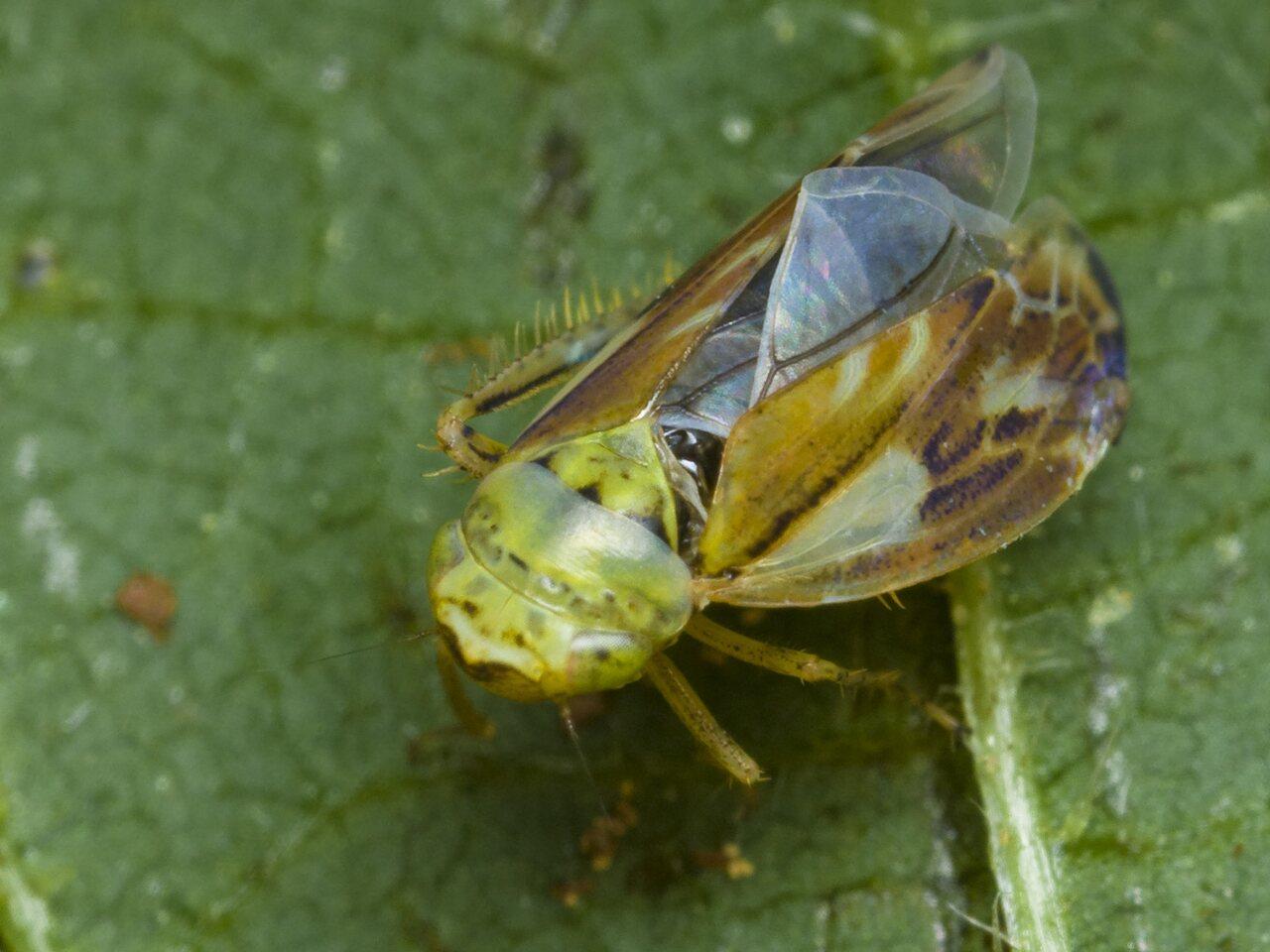 Cicadellidae-0106.jpg