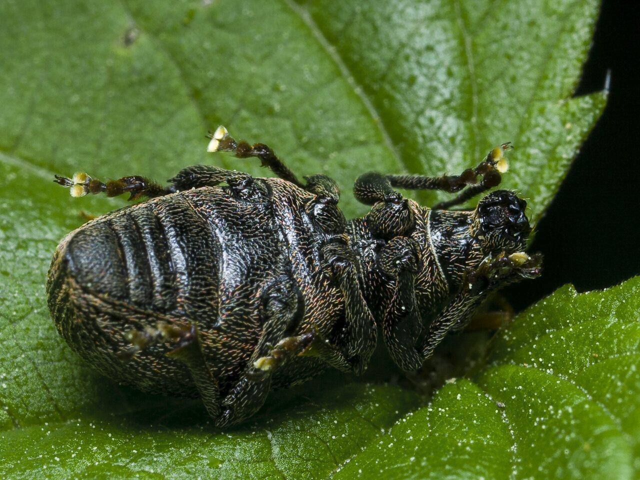 Otiorhynchus-tristis-0123.jpg