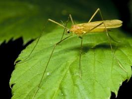 Diptera 0135