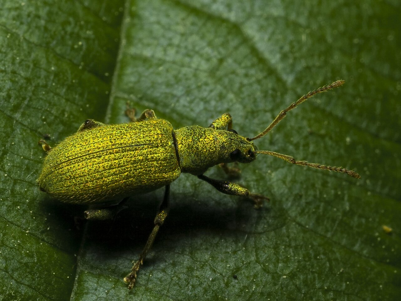 Phyllobius-argentatus-0156.jpg