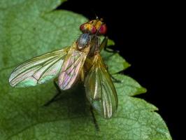 Diptera 0164