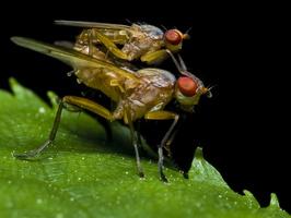 Diptera copula 0169