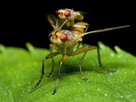 Diptera 0170