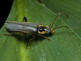 Cantharis nigricans · minkštavabalis