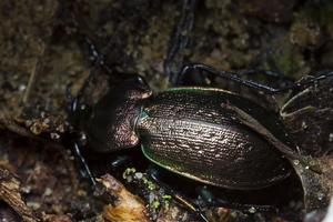 Carabus arvensis · dirvinis puošniažygis