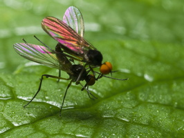 Empididae · snapmusė