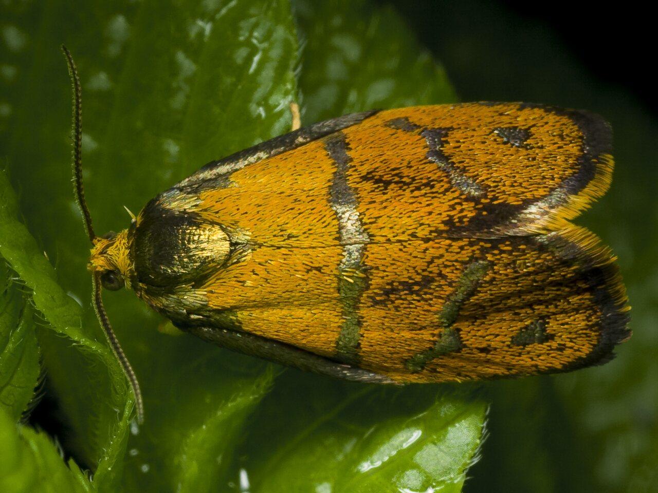 Ptycholoma-lecheana-0216-.jpg