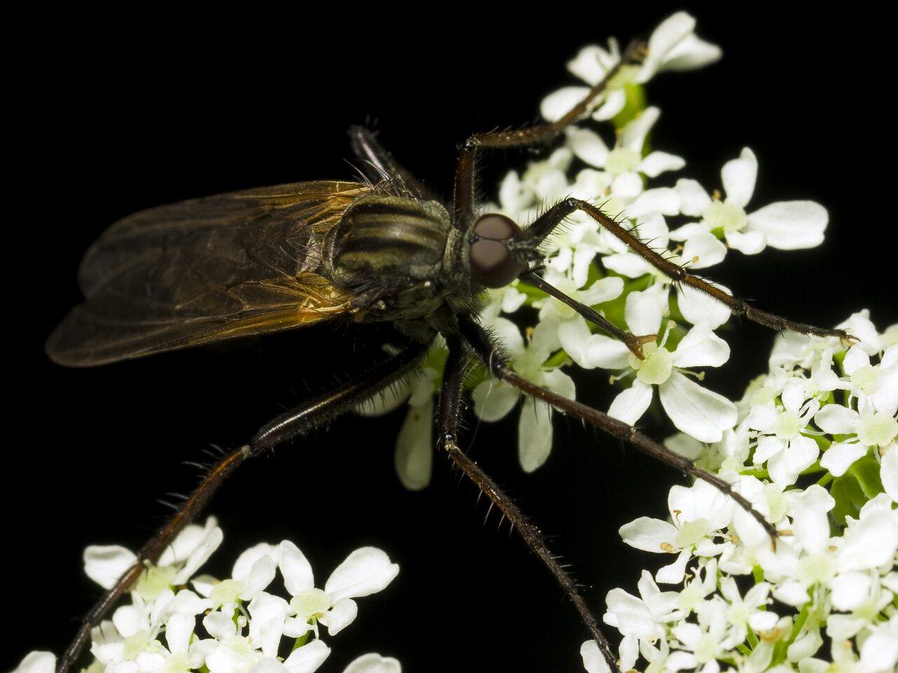Empididae-0221.jpg