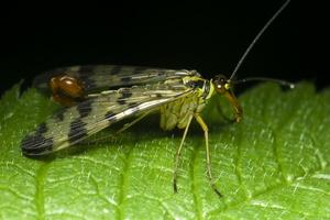 Panorpa communis male · paprastoji skorpionmusė ♂