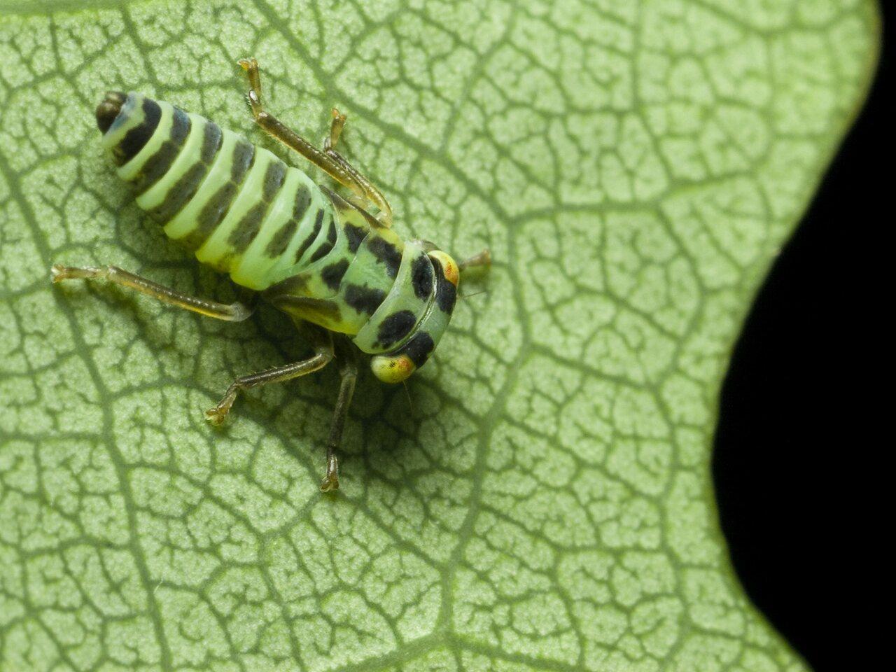 Cicadomorpha-0267.jpg