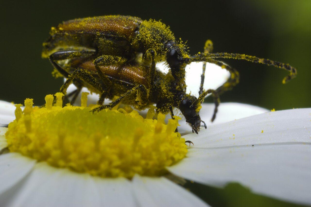 Paracorymbia-maculicornis-0394.jpg