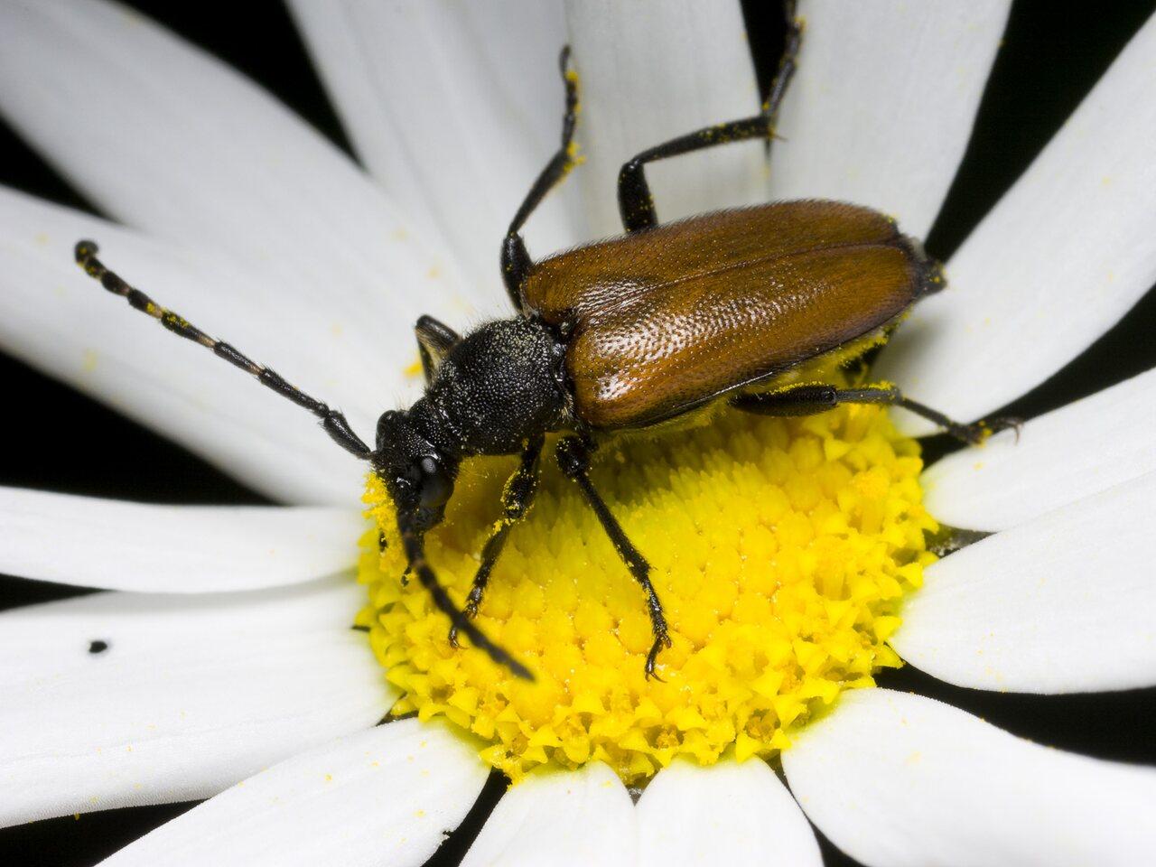 Paracorymbia-maculicornis-0397.jpg
