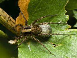 Pardosa lugubris female · paprastasis šuolininkas ♀