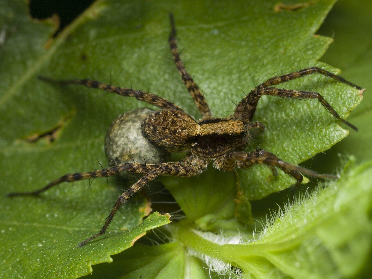 Lycosidae-0405.jpg