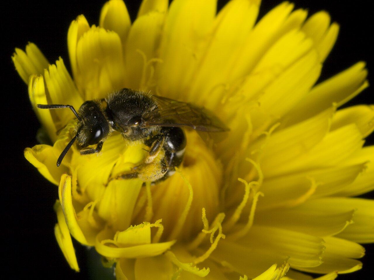 Apidae-0416.jpg