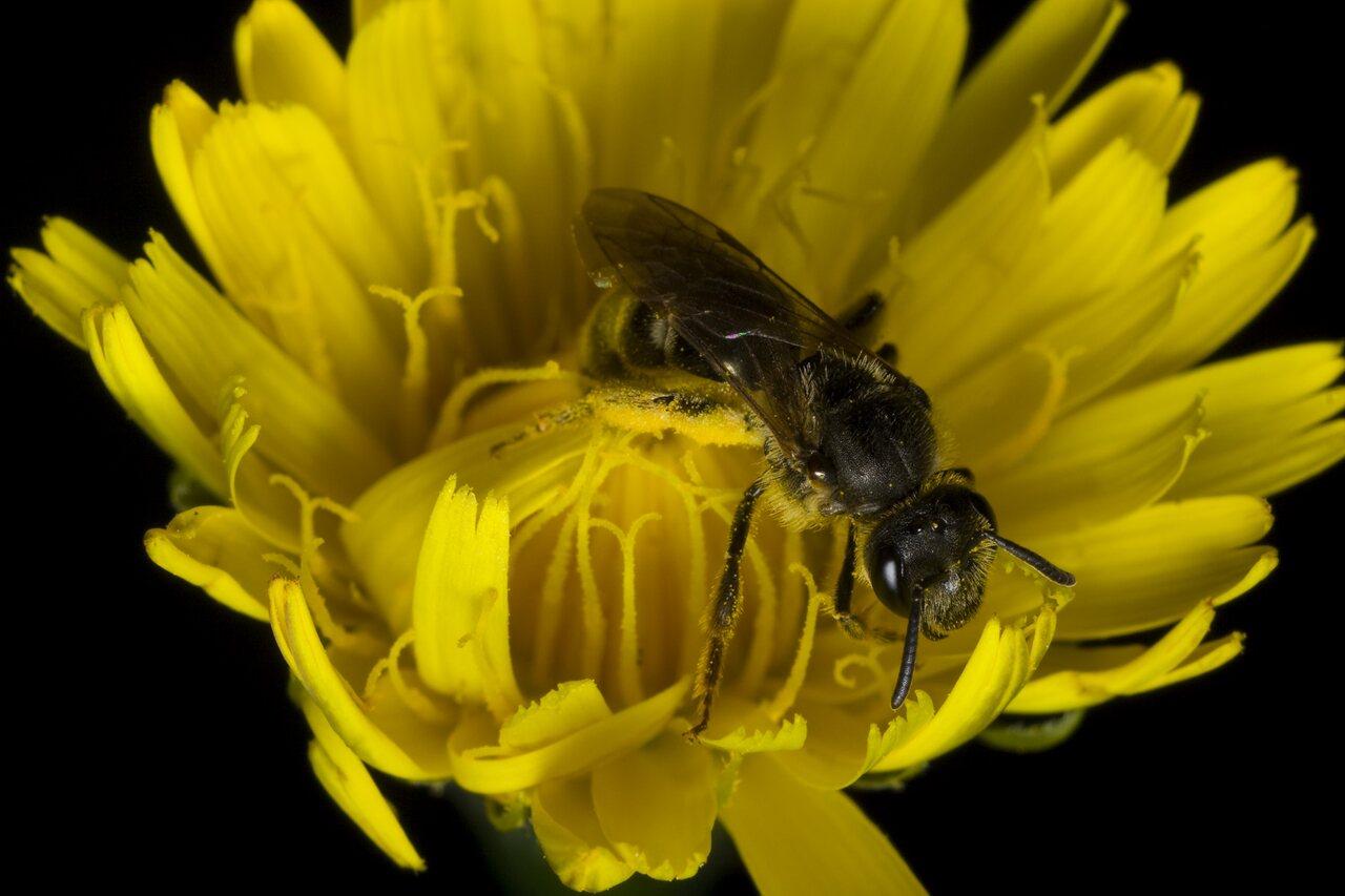 Apidae-0417.jpg