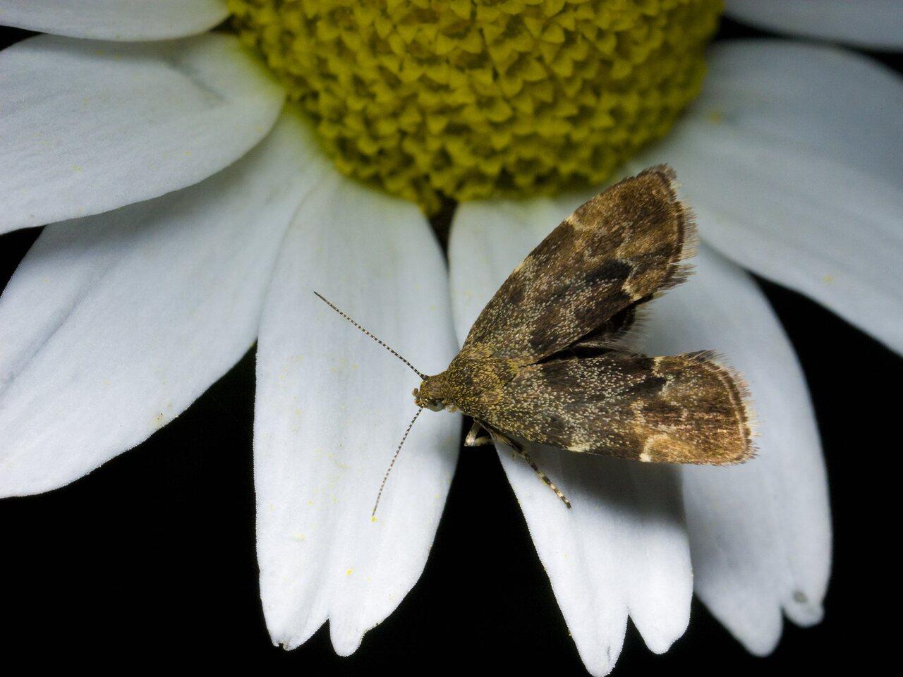 Anthophila-fabriciana-0424.jpg