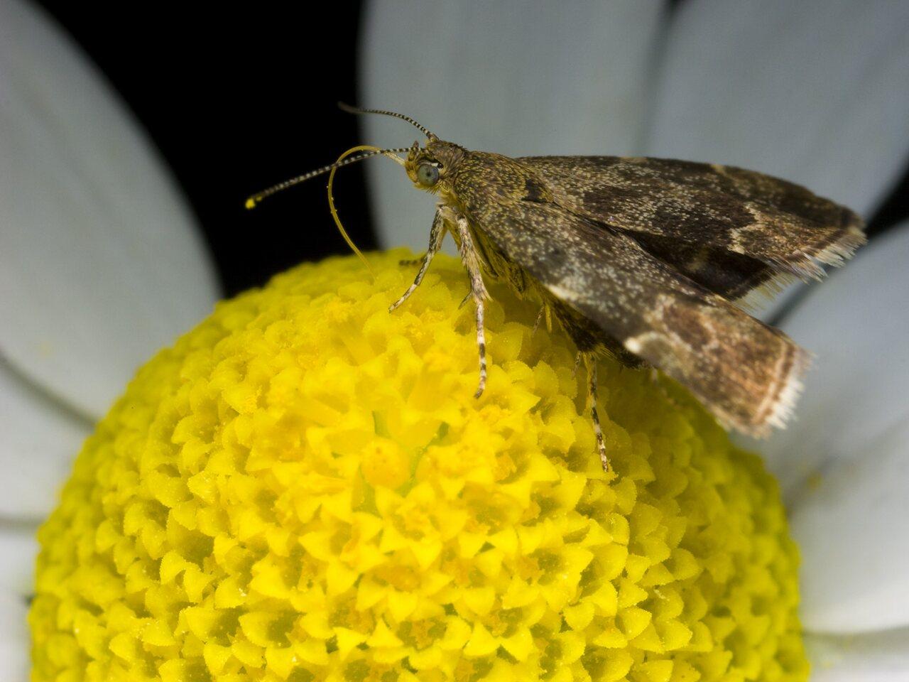 Anthophila-fabriciana-0428.jpg