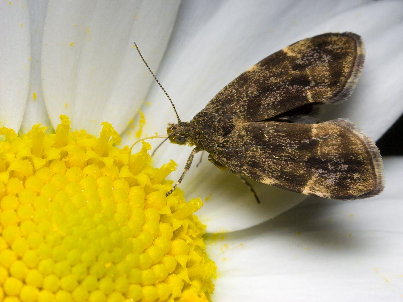 Anthophila-fabriciana-0433.jpg