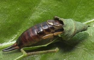 Forficula auricularia female · paprastoji auslinda ♀