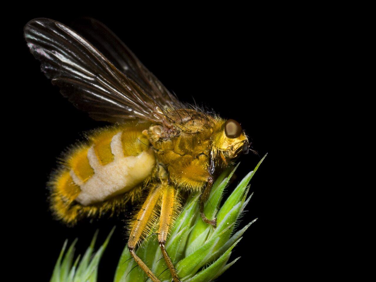 Scathophaga-stercoraria-0443.jpg