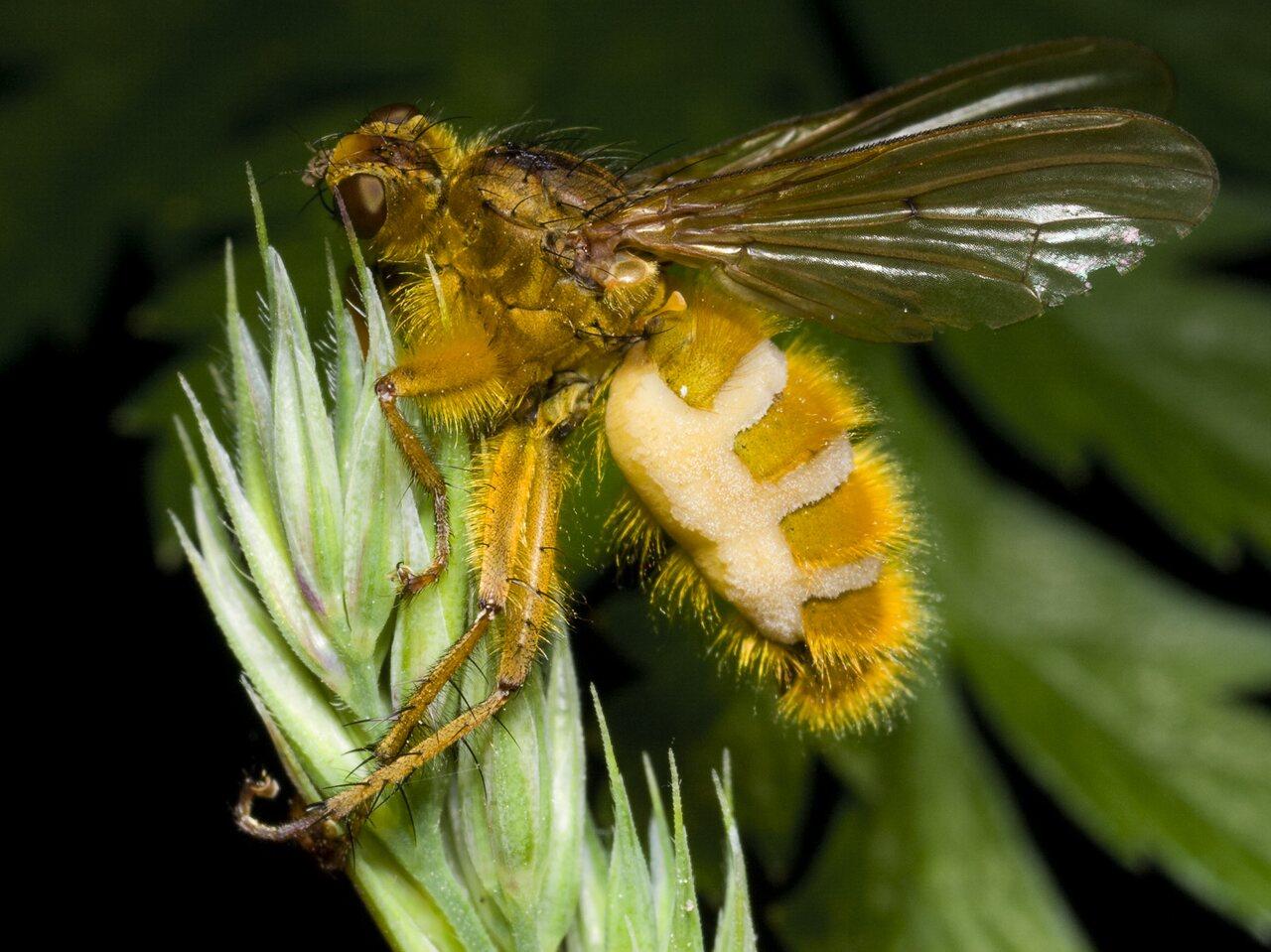 Scathophaga-stercoraria-0445.jpg