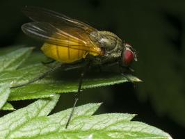 Diptera 0449