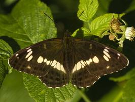 Limenitis camilla · mažasis juodmargis