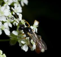 Hymenoptera 0534