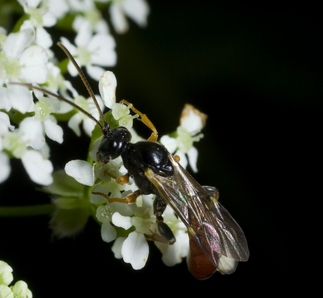 Hymenoptera-0534.jpg