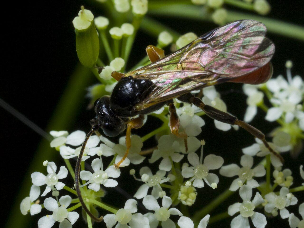 Hymenoptera-0539.jpg