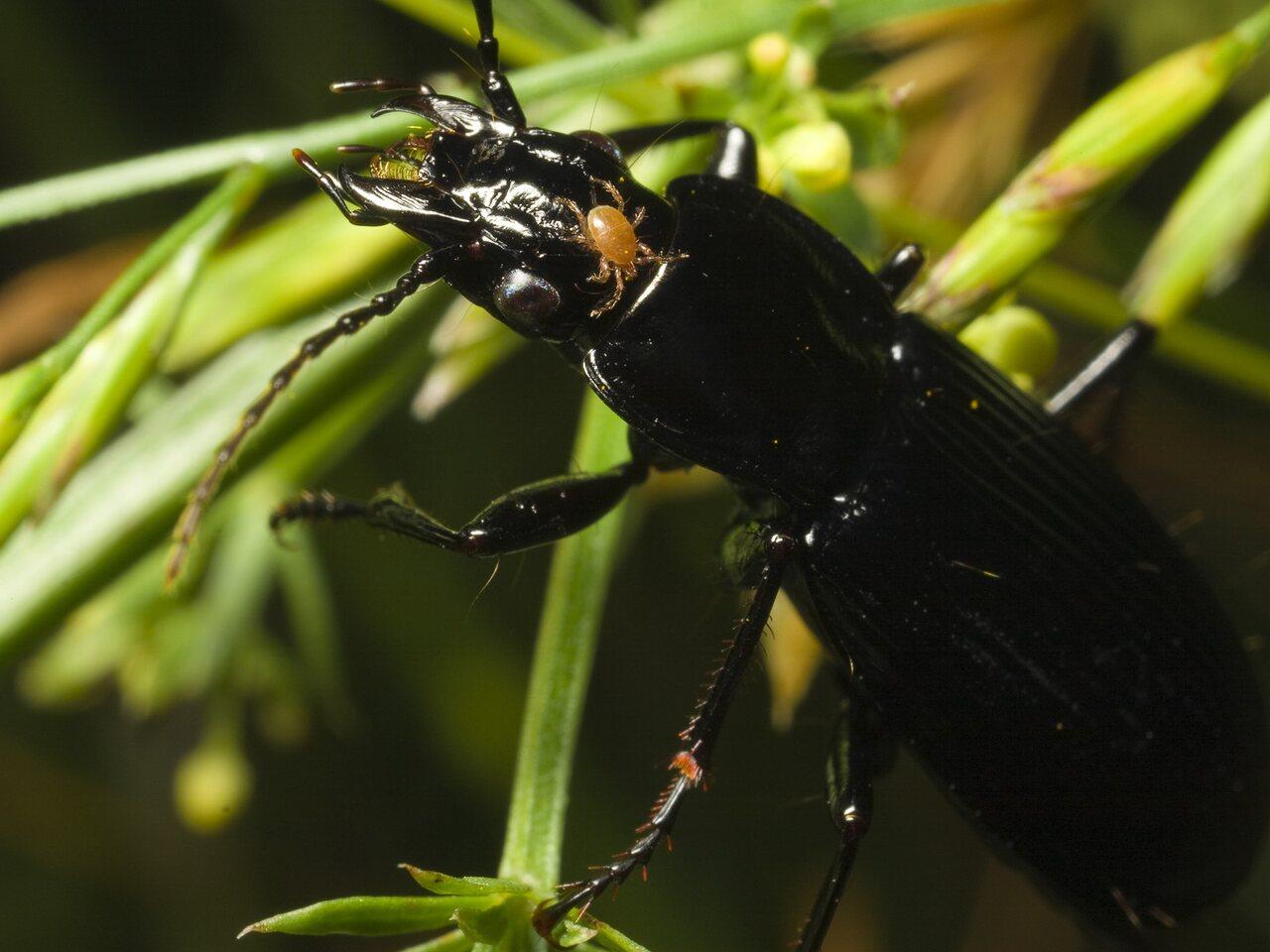 Pterostichus-niger-0557.jpg