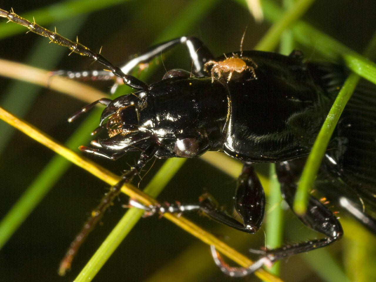 Pterostichus-niger-0560.jpg