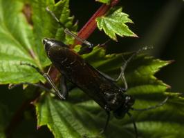 Macrophya annulata · pjūklelis